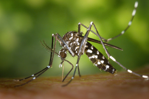 Aedes black and white mosquito