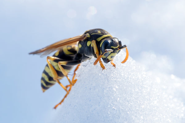 Wasp in snow