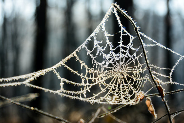 Spiderweb covered in frost