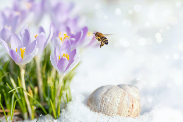 Bee in the snow