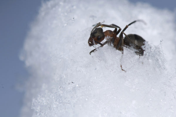 Ant in snow