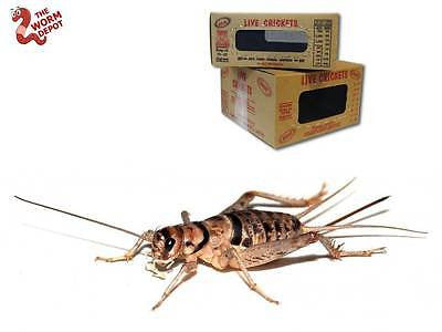 250 Live Crickets - All Sizes Available