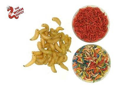 250 Live Spikes Maggots - Red & All Colors Available