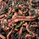 Live European Nightcrawlers - Jumbo Belgium Red Wiggler Worms