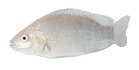 While Nile Tilapia Breeding Colonies