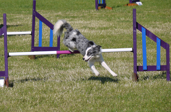 Competition Jump - Longfield Agility Solutions