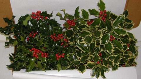 1X - MANOR - Boxed Holly
