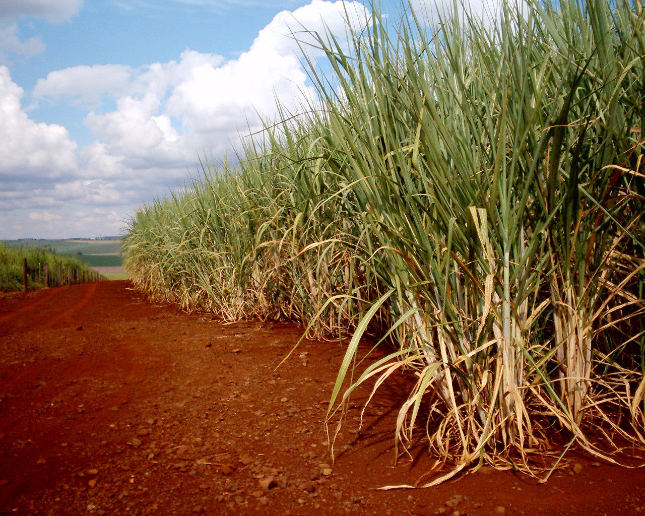 Sugarcane used to make rum
