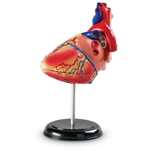 Human Anatomy Model Heart - Jouets LOL Toys