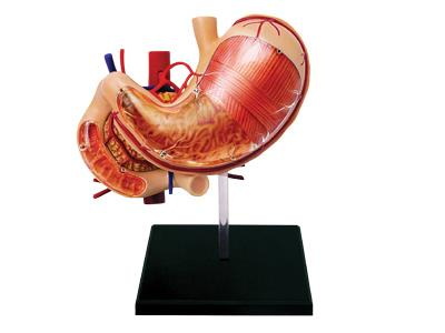 4D Human Anatomy Stomach & Other Organs Model - Jouets LOL Toys