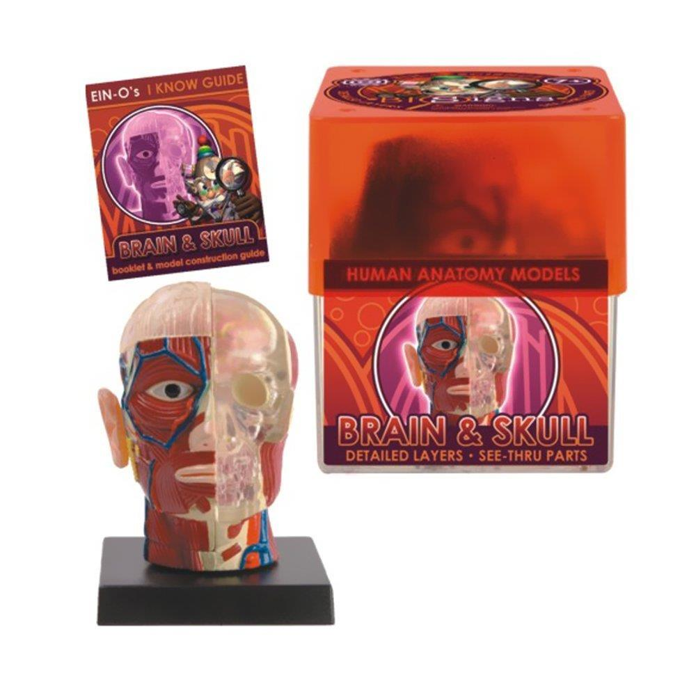 Bio Signs Brain and Skull Anatomy Model - Jouets LOL Toys