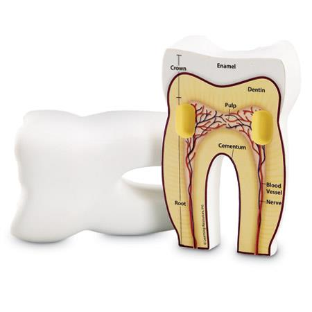Cross Section of the Human Tooth - Jouets LOL Toys