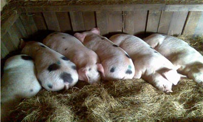Pigs spooning at night