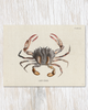 Lady Crab Specimen Card