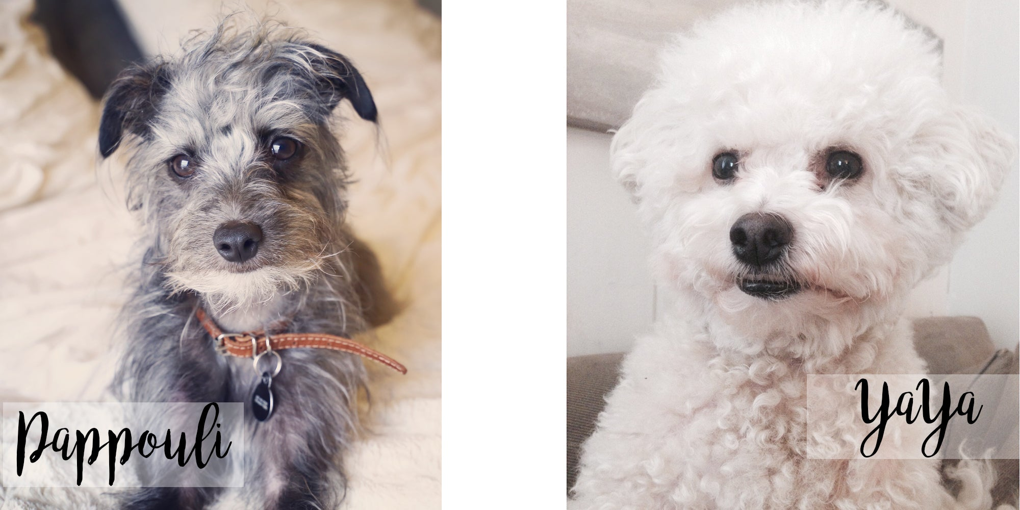 bichon frise and italian greyhound poodle mix ( aka pootalian)