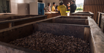 Chocolate Making Series Part 1 – The Art of Cocoa Fermentation