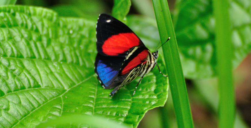 The Agrias Claudina Butterfly