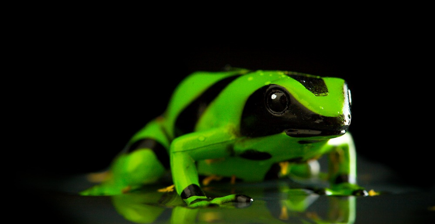 Tiny & Unforgiving: The Poison Dart Frog