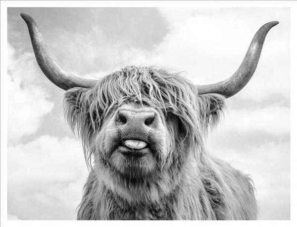 Highland Cow With Frame