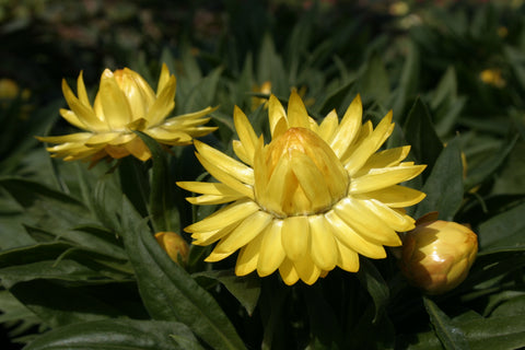 Bracteantha Sundaze 'Totally Yellow'