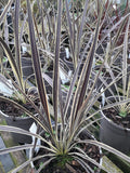 Cordyline banksii 'Electric Flash'