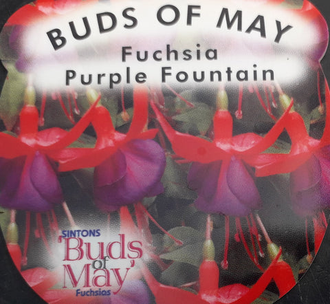 Fuchsia 'Purple Fountain'
