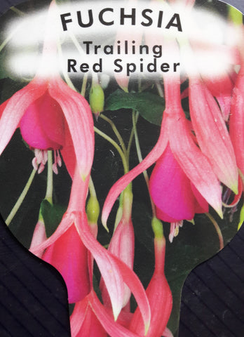 Fuchsia 'Red Spider'