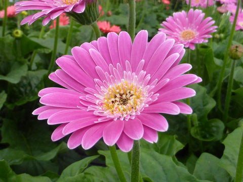 Gerbera Garvinea 'Sweet Suprise'