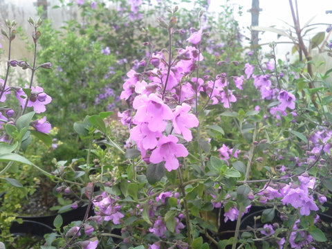 Prostanthera rotundifolia