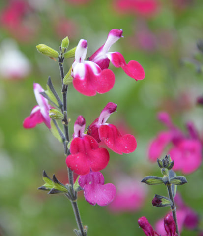 Salvia greggii 'Cherry Lips'