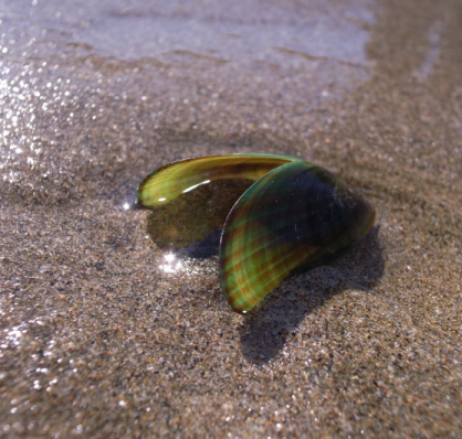 Shell of green-lipped mussel