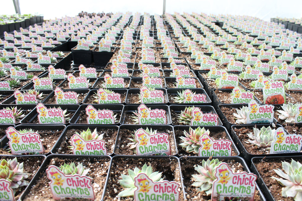 Glen lea Greenhouses succulents care