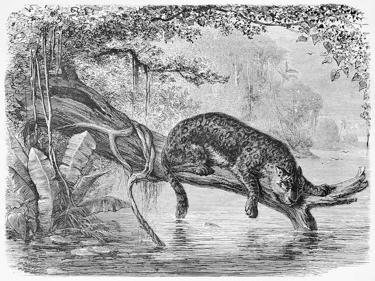 fishing jaguar in jungle illustration