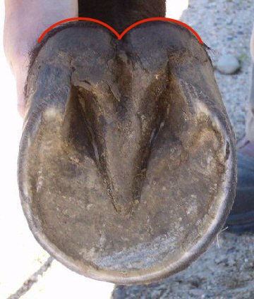 A balanced barefoot trim on a horse's hoof