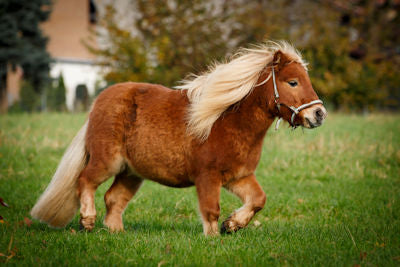 A brown and blonde miniature horse running through green grass