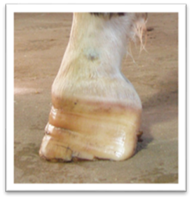 A horse with a grade 4 club foot