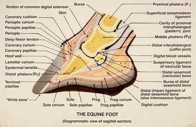 A diagram of the internal structures and anatomy of the horse's hoof