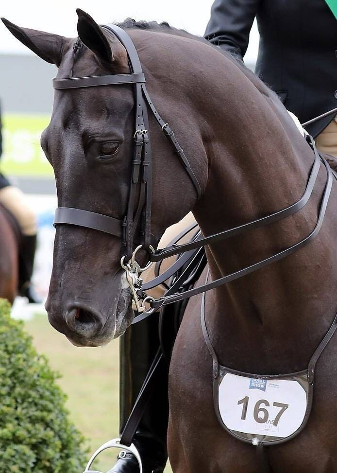 A black horse competing in a horse show