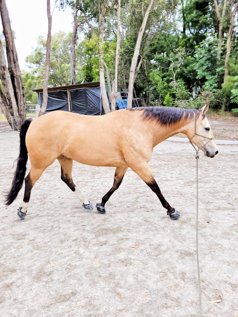 You Regularly Help Transition Horses From Shod to Barefoot. Could you Please Tell us About Some of the Barefoot Transitions you Have Experienced? (H2)  Yes, I do, and I will say that this is one of my favourite things to do! It can be challenging, but with a dedicated owner who is willing to push through some of the issues we may face, who is proactive and onboard with every step of the way, these transitions are extremely rewarding.