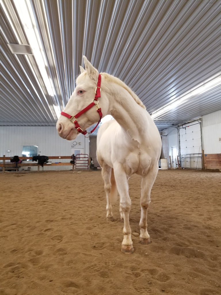 A barefoot cream coloured horse posing with a red halter in a sand arena