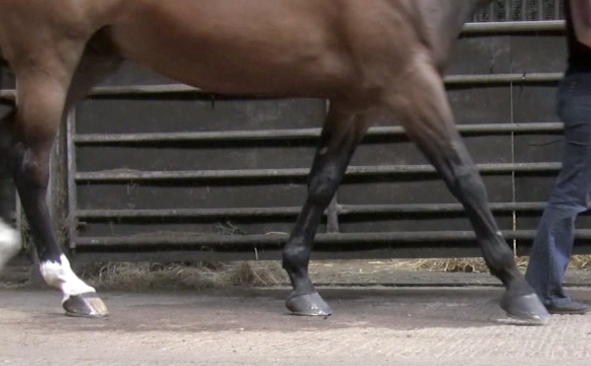 A black and brown horse walking on pavement with a flat-footed landing