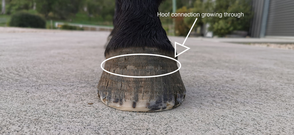 A black horse's hoof standing on the pavement after receiving a barefoot trim