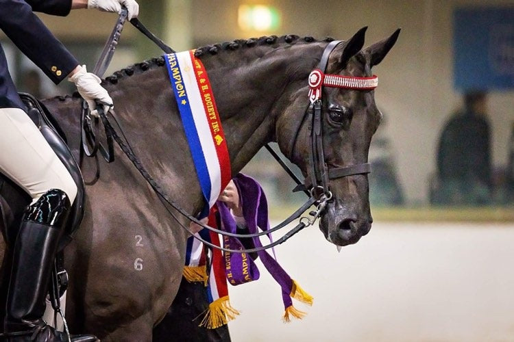 A black horse winning red, white, blue and purple show ribbons in a horse riding competition
