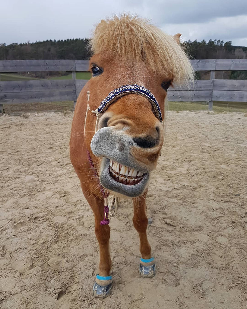 A brown horse wearing blue Scoot Boots making a funny face in an inclose sand arena