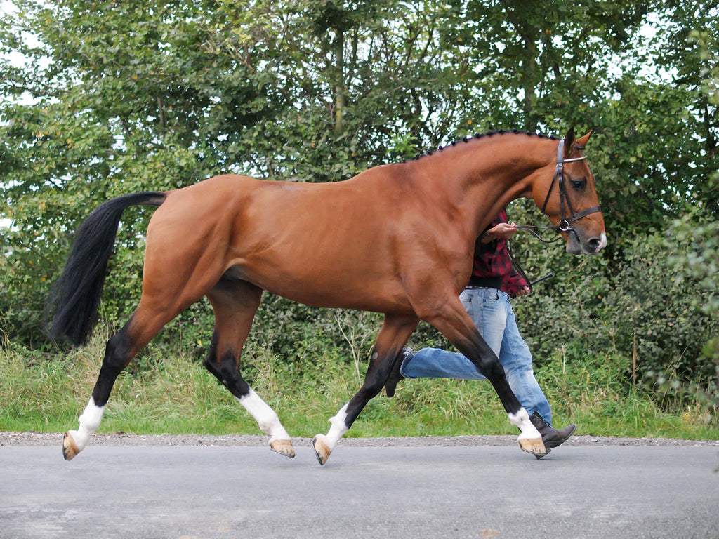 A brown shod horse with a toe first landing trotting down the road with its owner