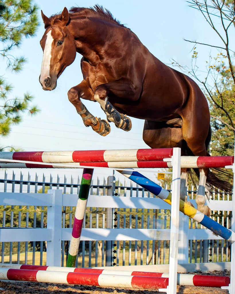 A chestnut gelding wearing Scoot Boots jumping over a show jump without a rider