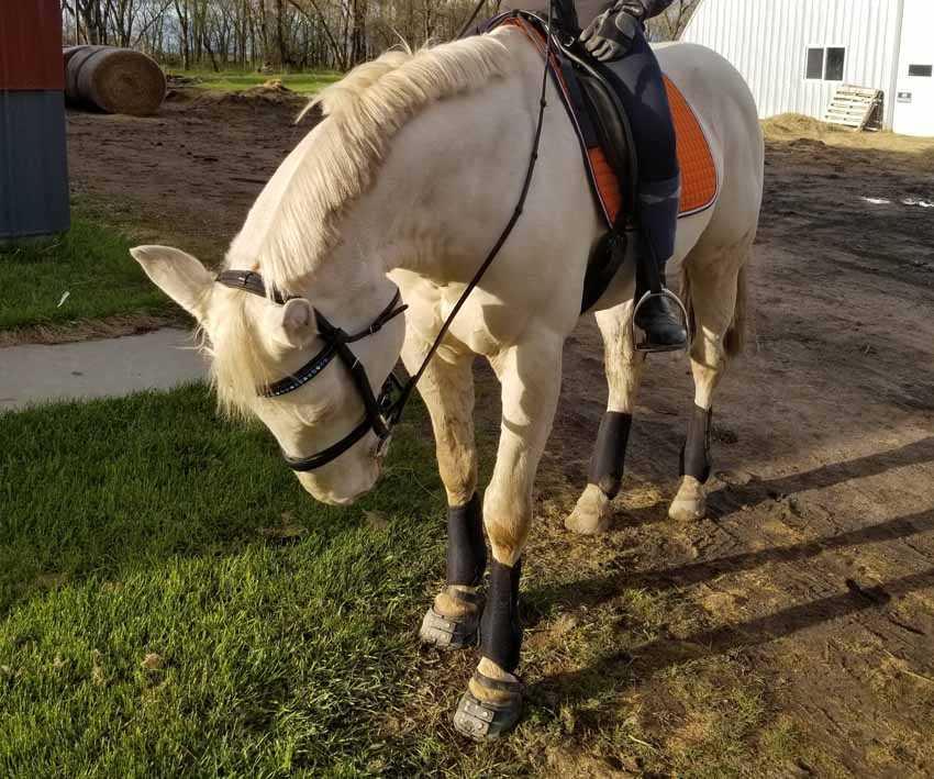A cream coloured horse admiring their black Scoot Boots on their hooves before going on a trail ride
