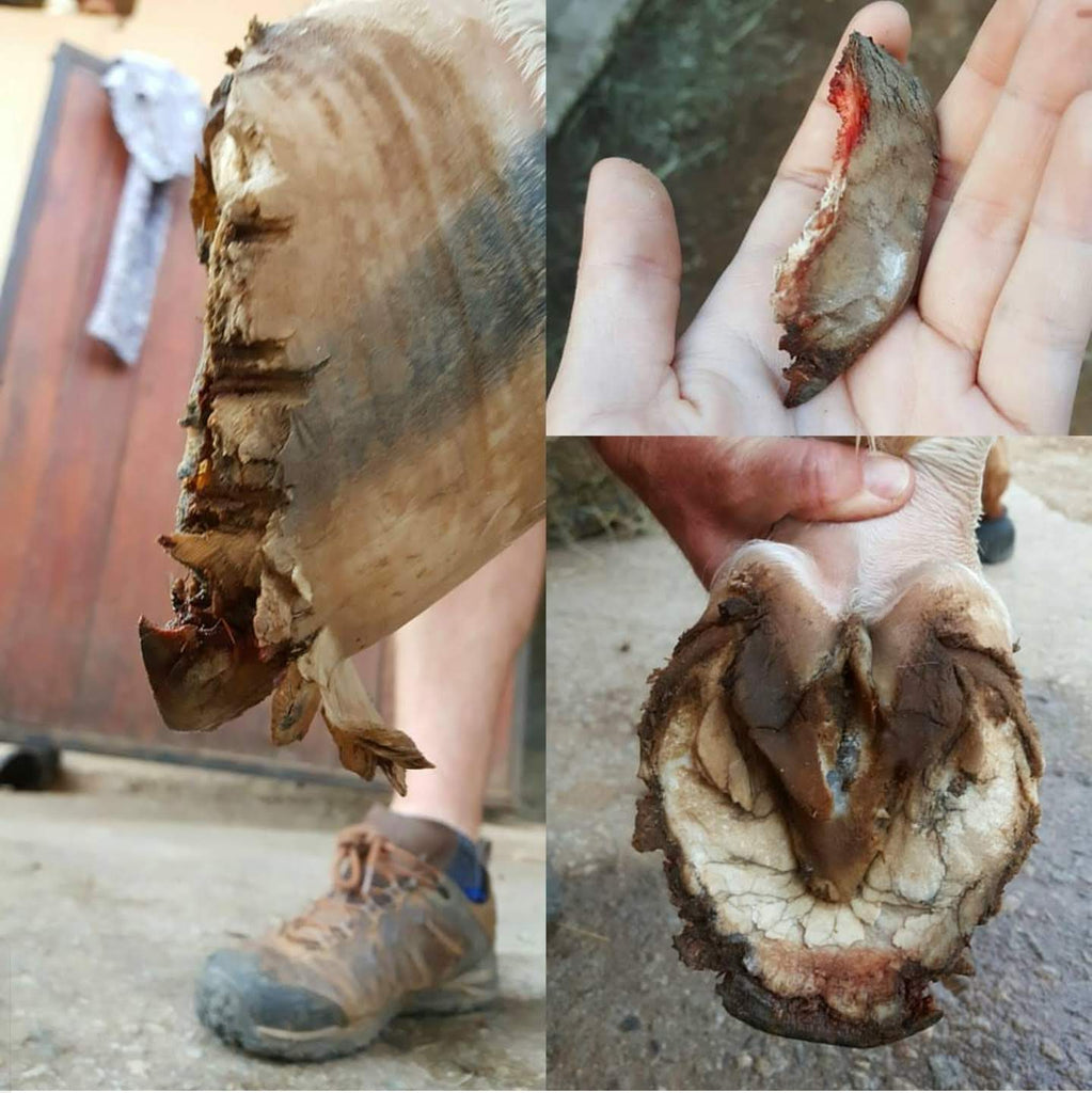 A hoof injury caused by shoes being torn off