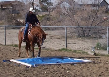 A man desensitising a brown horse by riding it over a blue tarp