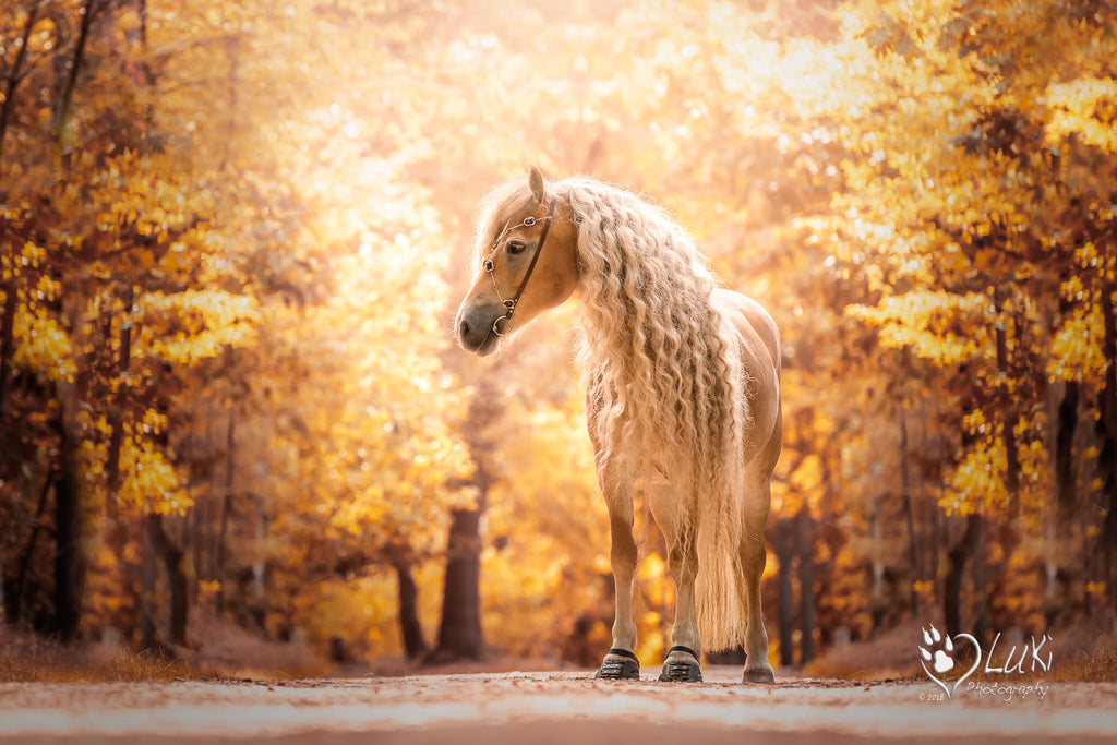 A palomino horse with a long curly maine standing in an autumn forest wearing black Scoot Boots